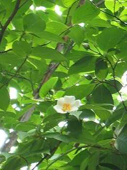 夏椿(沙羅双樹)